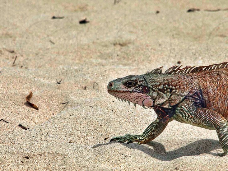 Lizard iguana tropical beach sand reptile dinosaur animal Caribbean scales spikes  photo