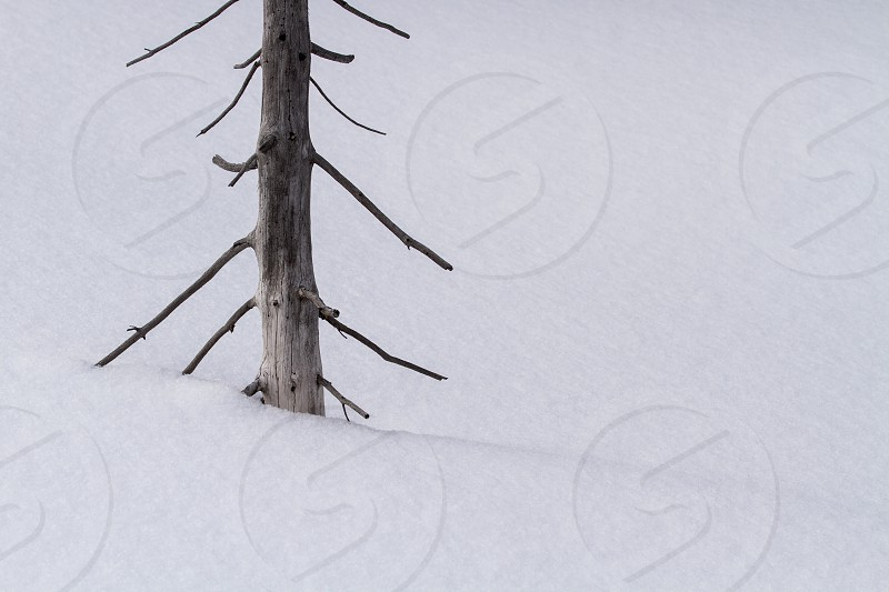 A dead tree surrounded by a snow bank photo
