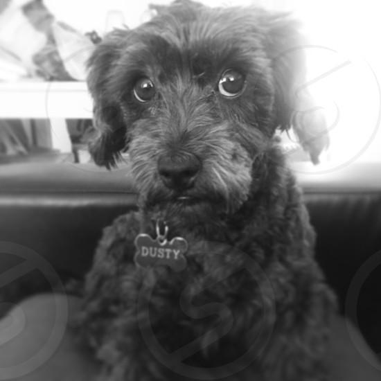 black toy poodle dog photo