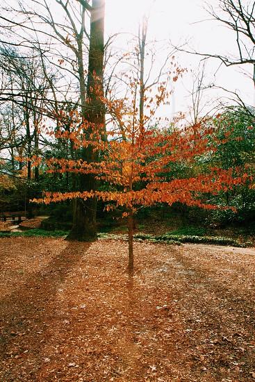 autumn tree in woods photo