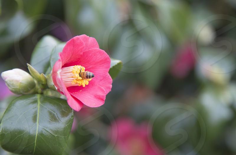 flower bee nature pollen pink spring petals  photo