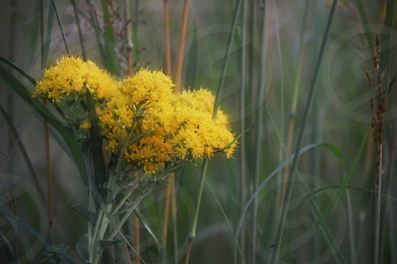 Yellow Milkweed Plant - Asclepias tuberosa  in conservation park among tall field grasses. photo
