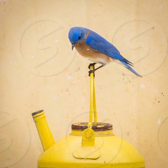 eastern bluebird perched on yellow watering can during daytime photo