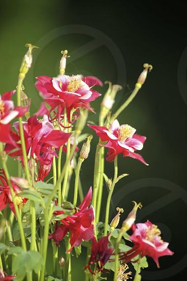 Columbine flowers in sunlight. photo