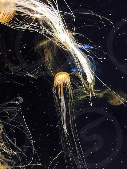 Jellyfish aquarium underwater aquatic life nature photo