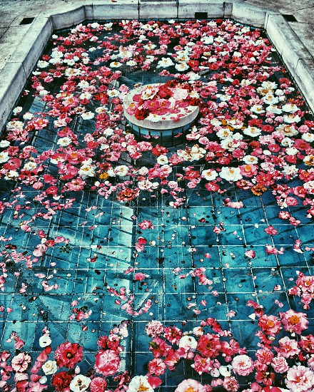 rose pedals. flowerslifestylebeautytravelflowersbath photo