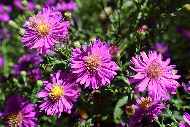 Close up selective focus shot of Aster flowers. photo
