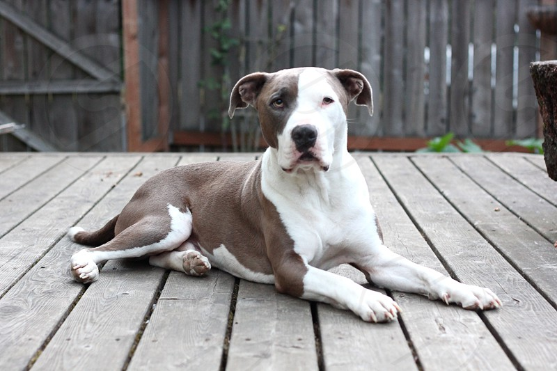 liver and white american staffordshire terrier photo