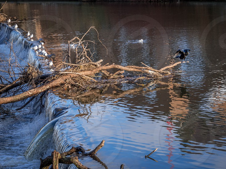 Cormorant standing on a fallen tree stuck in the weir on the River Wear in Durham photo