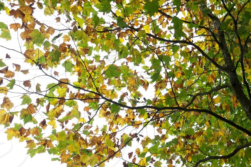 green and yellow maple tree photo
