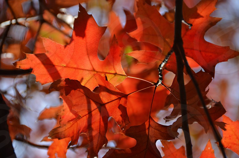 view of red leafed tree photo