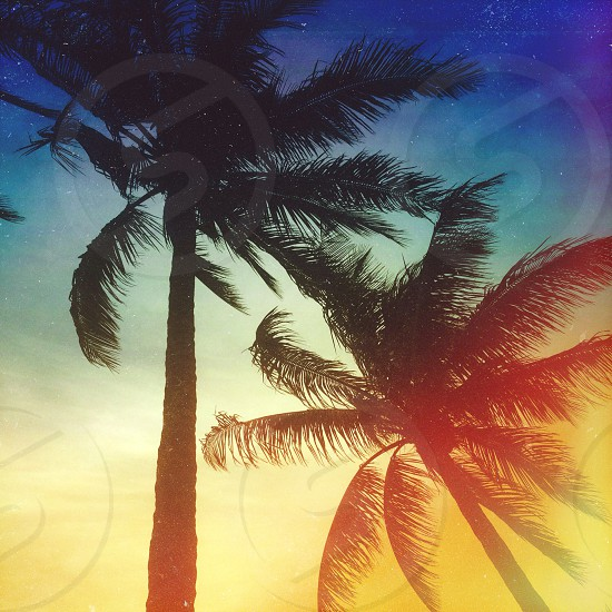 palm trees in the sunset photo