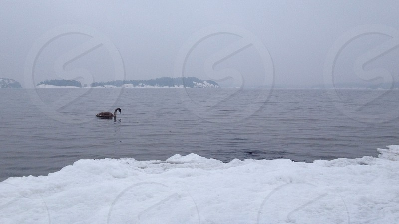 swan swimming in icy water photo