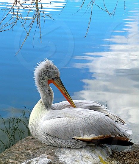pelican laying on a stone in the pond photo