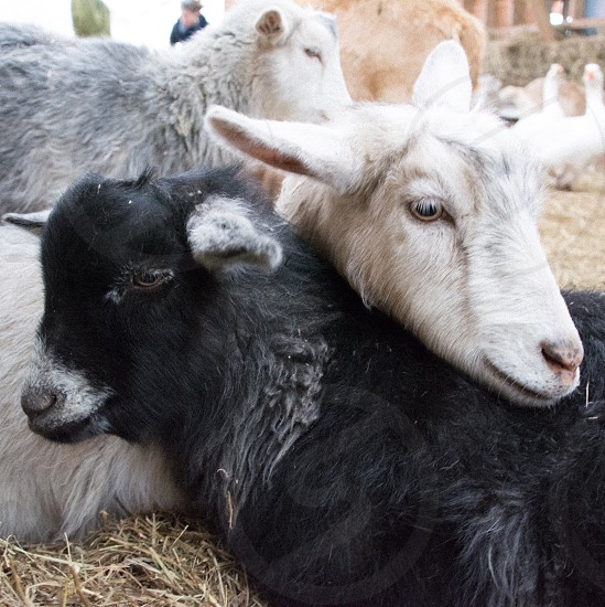black and white goats lying on the field photo
