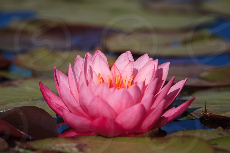 Pink lily in a pond. photo