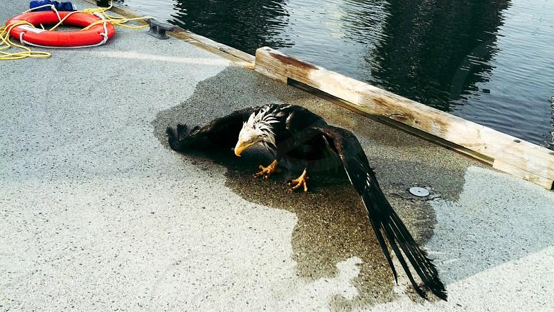 Wounded eagle  eagle  dock  marina  wildlife  photo