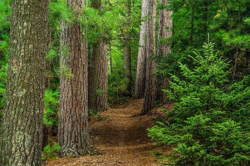 Path Through The Pines photo
