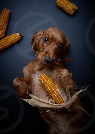 English Cocker Spaniel cheerful dog with corn black background studio shooting photo