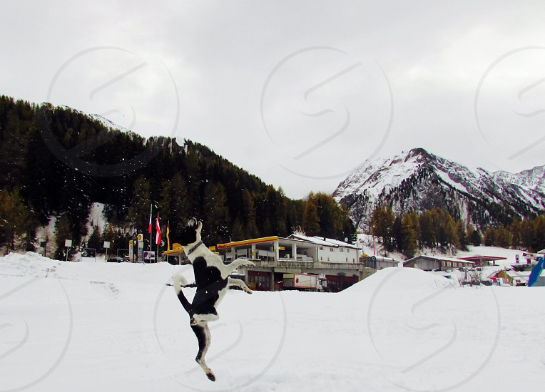 white and black dog jumping on snow covered ground photo