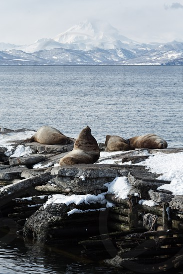 Nature of Kamchatka: rookery Northern Sea Lion or Steller Sea Lion (Eumetopias Jubatus). Russia Kamchatka Peninsula Avacha Bay Petropavlovsk-Kamchatsky. photo