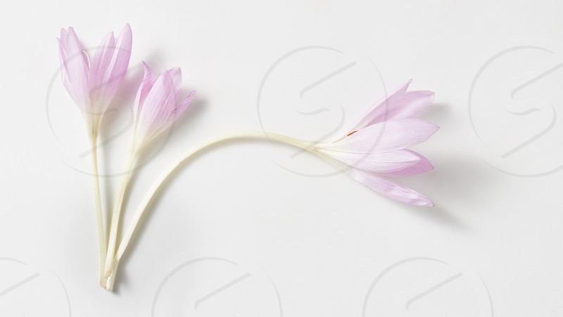 Studio Shot of Lilac Colhicum Flowers Isolated on White Background. photo