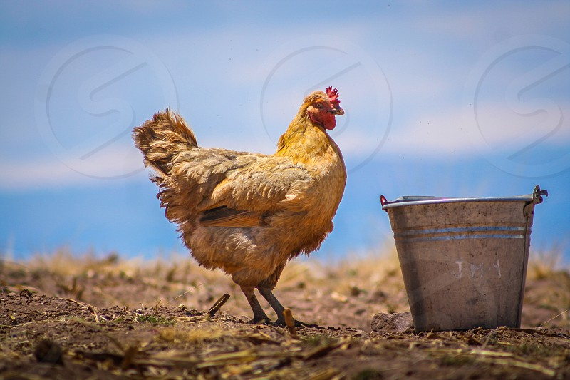 Hen eating in a farm photo