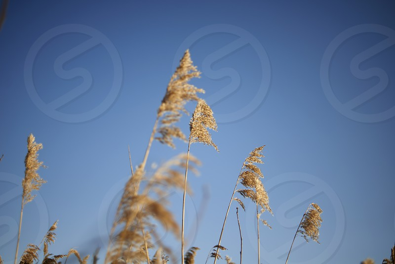 Golden reeds blowing in the wind in winter sunshine with blue sky photo