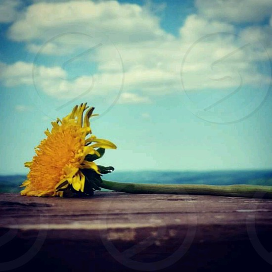 yellow sunflower on brown surface under blue and white cloudy sky closeup photography photo