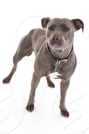 blue american staffordshire terrier photo