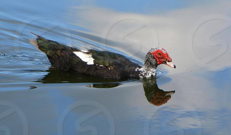 Muscovy duck; Key West Botanical Garden; Key West Florida photo
