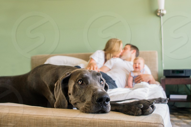 black short coated dog lying on brown seat with couple kissing beside baby on bed at distance photo