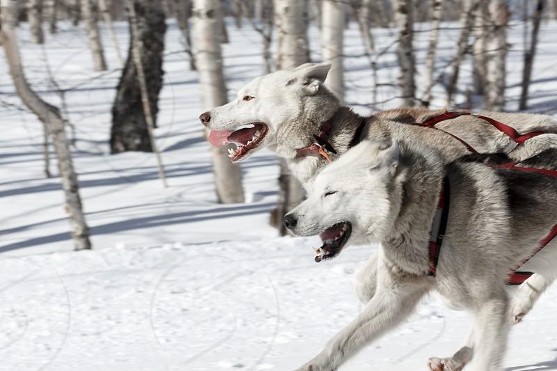 PETROPAVLOVSK-KAMCHATSKY KAMCHATKA PENINSULA RUSSIA - FEBRUARY 23 2017: Kamchatka Kids Competitions Sled Dog Race Dyulin (Beringia). Runs dog sled young Kamchatka musher Elizabeth Popova. photo