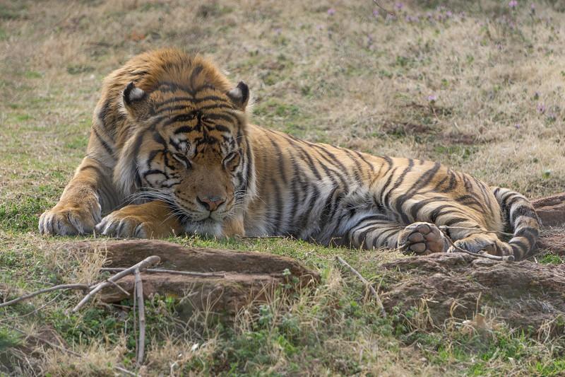 sleepy tiger takes a nap tony the mofukin tiger their great stripes and shiz. photo