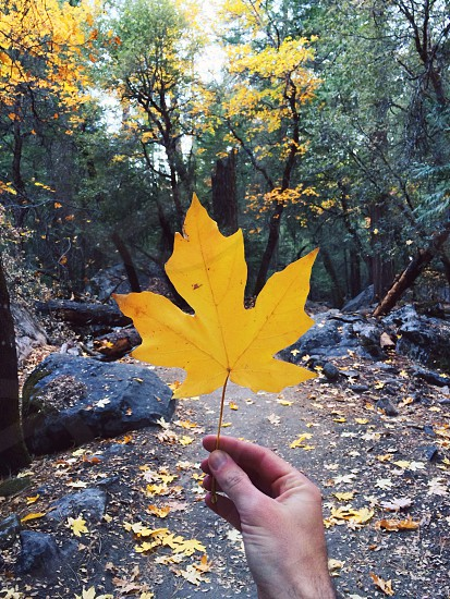 yellow maple leaf photo