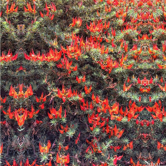 Red Flowers From The Canary Islands. Tenerife. photo