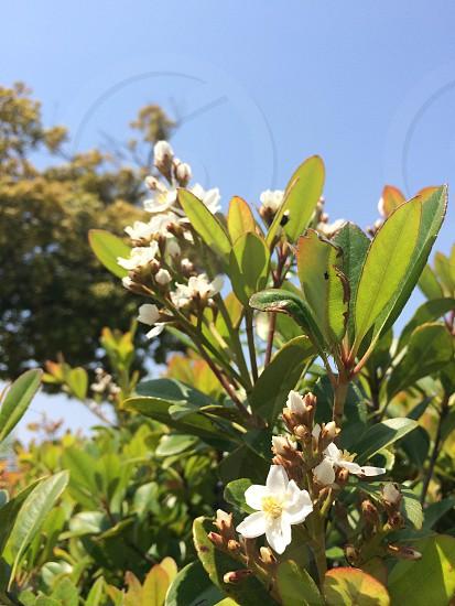 シャリンバイ(Rhaphiolepis umbellata) photo