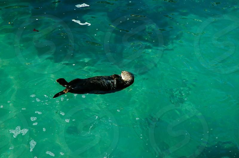 California Sea Otter Pacific Ocean Monterey and Pacific Grove area photo