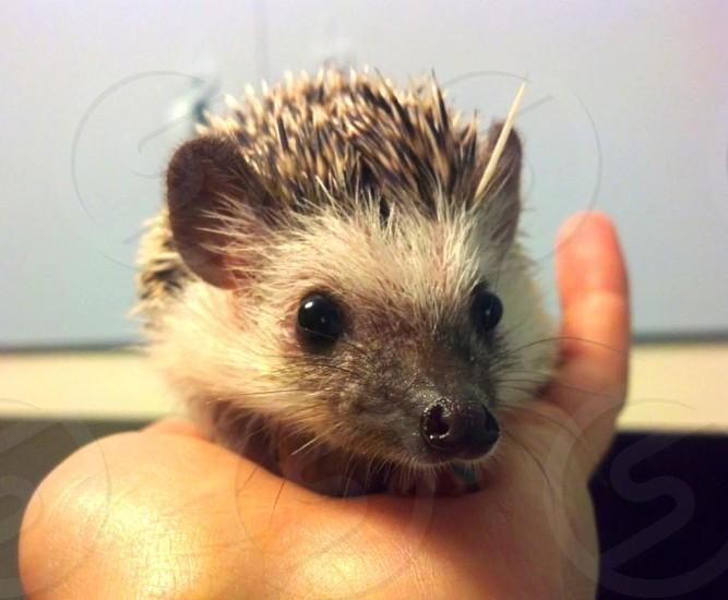 My pet hedgehog Arlo!  photo