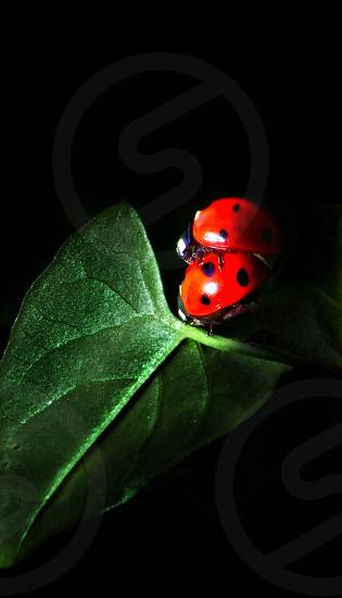 Ladybugs photo