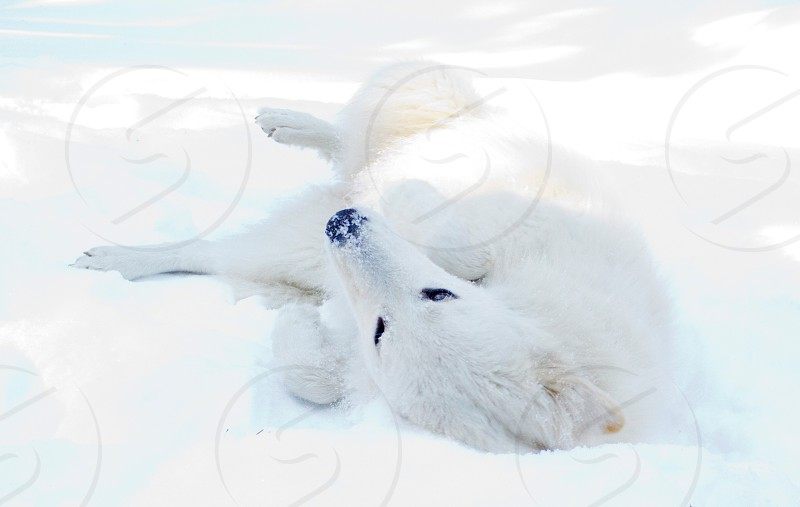white fox on white floor covered with snow photo