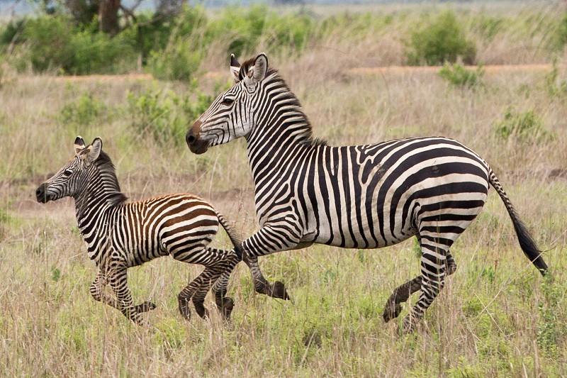 zebra safari africa wild photo