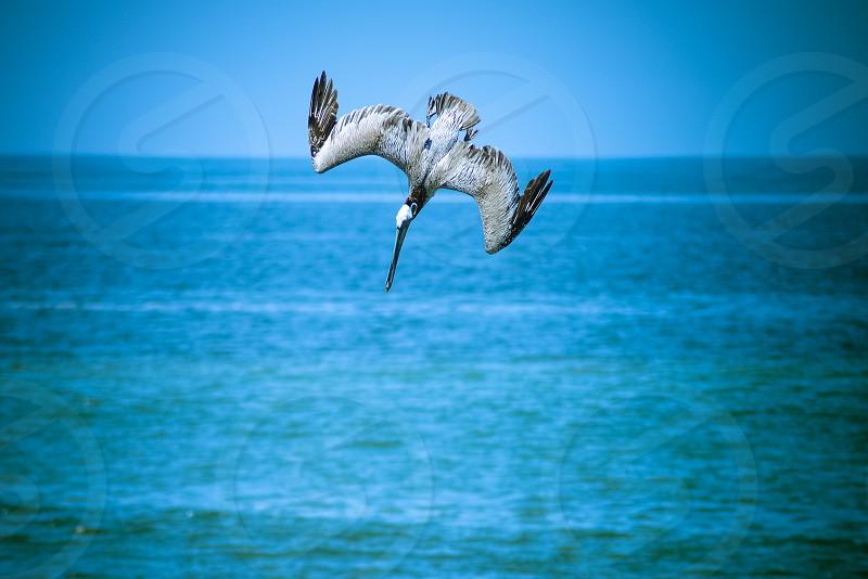 Pelican fishing at Vallarta bay photo