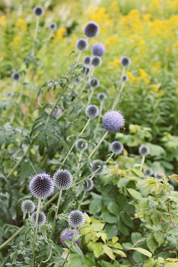 Golden Rod and echinops (thistle) in a Belgian godshuis garden.  photo