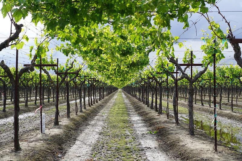 California grapes grapes  photo