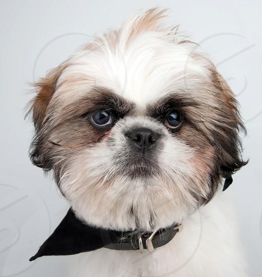 animal dog pet purebred Shih Tzu photo