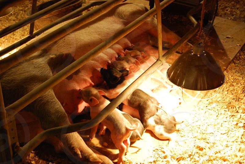 baby pigs pigs nursing mother photo