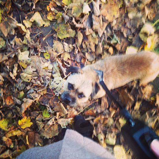Border terrier autumn leaves dog perspective  photo