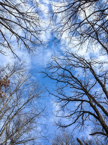 Blue skies and bare trees in winter photo