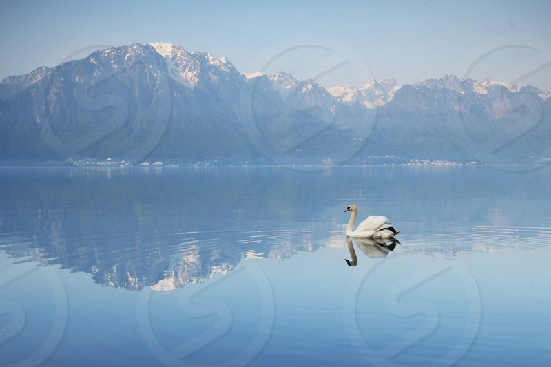 hazy sky snow capped mountain calm water white swan photo